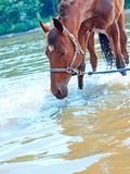 Nice bay mare in river Royalty Free Stock Images