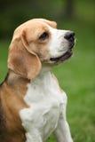 Nice beagle bitch sitting Royalty Free Stock Photos