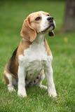 Nice beagle bitch sitting Stock Images