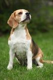 Nice beagle bitch sitting Stock Photography