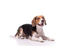 Nice Beagle lying, isolated Stock Photos