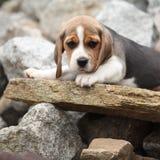 Nice beagle puppy lying on stone Stock Image