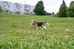 Nice Beagle puppy playing with the ball in the city Park. Eastern Europe royalty free stock image