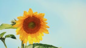 Nice beautiful amazing yellow fresh sunflower on great blue sky background, sunny summer good day with light breeze. Shallow depth of the field, toned video stock video