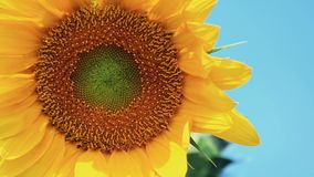 Nice beautiful amazing yellow fresh sunflower on great blue sky background, sunny summer good day with light breeze. Shallow depth of the field, toned video stock video footage