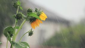 Nice beautiful amazing yellow fresh sunflower during a heavy shower rain with a breeze. Shallow depth of the field, toned video. 50fps stock video footage