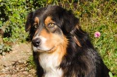 Nice and beautiful australian shepherd dog Royalty Free Stock Photography