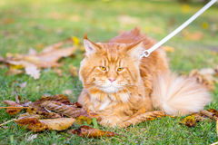 Nice Beautiful Cute Red Maine Coon Cat sitting on the Grass in the Park stock image