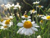 Chamomile. Nice beautiful flowers royalty free stock photos