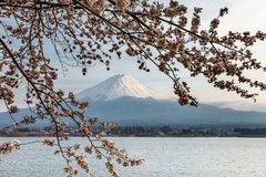 Nice and beautiful mount Fuji and cherry blossoms  Royalty Free Stock Images