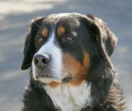 Nice Berner Dog 6 Stock Photography