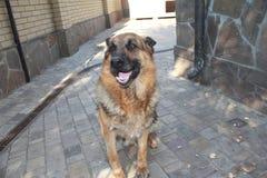 Funny German Shepherd. Nice big German Shepherd in the photo royalty free stock photo