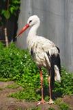Nice big stork Stock Image