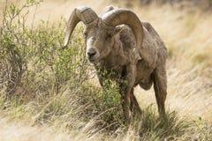 Nice bighorn ram eating vegetation. On mountainside Stock Photography