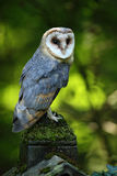 Nice bird barn owl, Tito alba, sitting on stone fence in forest cemetery, nice blurred light green the background Stock Images