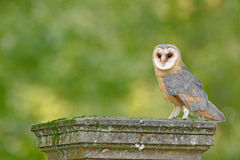 Nice bird barn owl, Tito alba, sitting on stone fence in forest cemetery, nice blurred light green the background. Wildlife scene Royalty Free Stock Photos