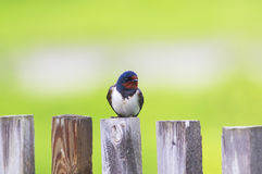 Nice bird barn swallow sitting on an old wooden fence Sunny day Stock Photography