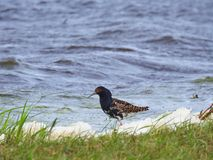 Beautiful bird in flood meadow, Lithuania Royalty Free Stock Images