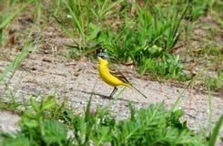 Beautiful yellow bird in field , Lithuania Stock Photo