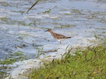 Beautiful bird in flood field, Lithuania Royalty Free Stock Images