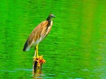 A nice bird. Bird in a pond Stock Photos