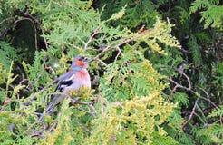 Beautiful little bird on green bush, Lithuania Stock Images