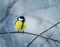 Nice bird the bird sits hunched on a branch in winter fore. Funny nice bird the bird sits hunched on a branch in winter forest in the snow Stock Photo