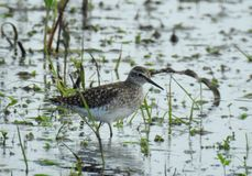 Beautiful bird wade in water , Lithuania. Nice bird wade in flood meadow in spring royalty free stock photo