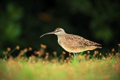 Nice bird Whimbrel Royalty Free Stock Images