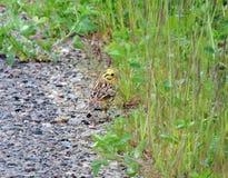 Beautiful little bird near grass, Lithuania Royalty Free Stock Photo