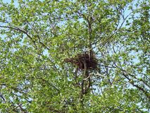 Bird nest in green tree, Lithuania royalty free stock photos