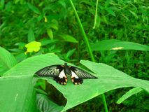 Balck butterfly. Nice black butterfly photo detail royalty free stock images