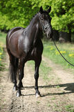 Nice black dutch warmblood with bridle Stock Images