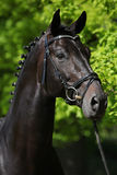 Nice black dutch warmblood with bridle Royalty Free Stock Photo