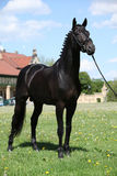 Nice black dutch warmblood with bridle. Nice black dutch warmblood standing with bridle Royalty Free Stock Photography