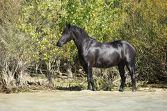 Nice black horse in the water Stock Images