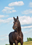 Nice black horse in field at sky background. Beautiful sportive horse in the field sunny day Royalty Free Stock Images