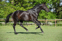 Nice black kwpn running on pasturage Stock Images