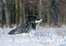 Nice black labrador in winter in snow Stock Image