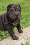 Nice black sharpei puppy Royalty Free Stock Photography