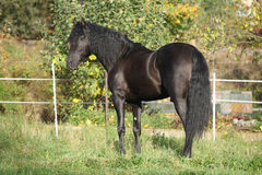 Nice black stallion with long mane Stock Photos