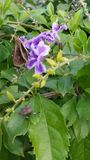 Nice blommar perplelavendel Arkivbilder