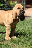 Nice bloodhound puppy Royalty Free Stock Photo