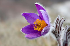 Nice bloom pasqueflower Royalty Free Stock Photography