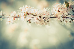 Nice blossom on cherry twigs in garden or park, floral springtime outdoor nature background, pastel Royalty Free Stock Image
