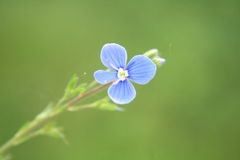 Nice blue flower Stock Image
