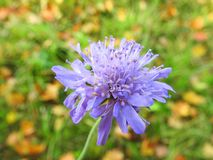 Beautiful blue flower in meadow, Lithuania royalty free stock images