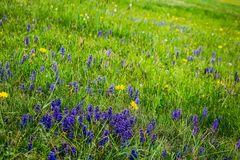 Nice blue hyacinth in spring meadow and flower in grass royalty free stock photo