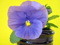 Beautiful blue pansy flower, Lithuania Stock Images