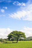 Nice blue sky and the big lonely tree. In rice field Stock Photos